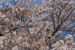 Blossoms of a sakura tree at Shinjuku Garden (Shinjuku Gyoen) in Tokyo, Japan.